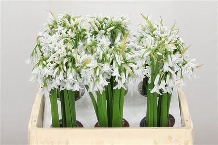 Allium White