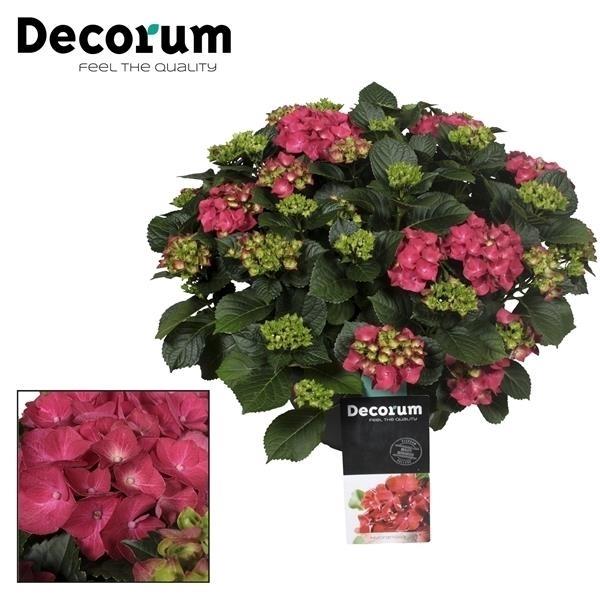 <h4>Hydrangea Red in sierpot 20+ kop (Decorum)</h4>