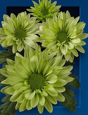 chrysanthemum spray green lizard