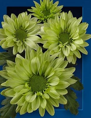 <h4>chrysanthemum spray green lizard</h4>