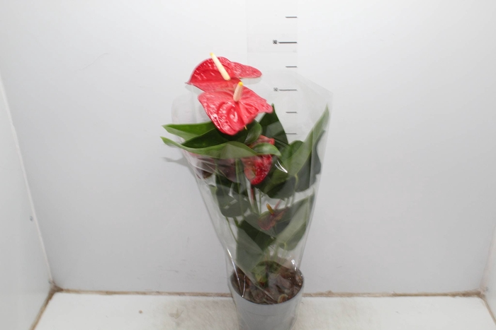 <h4>ANTHURIUM DAKOTA P17</h4>