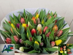 <h4>Tulipán single  Mixed in bunch</h4>