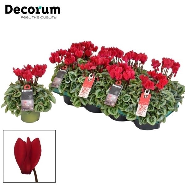 <h4>Cyclamen SS Picasso Wine Red Decorum</h4>
