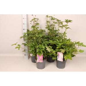 vaste planten 19 cm  Anemone Diverse