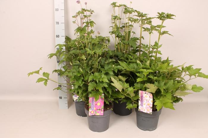 <h4>vaste planten 19 cm  Anemone Diverse</h4>