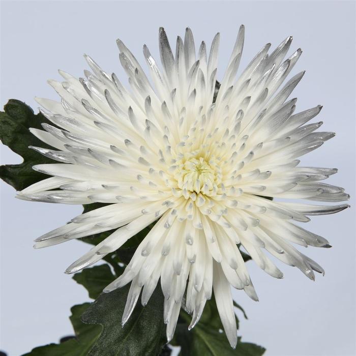 <h4>Chrysanthemum PL   ..color  H%</h4>