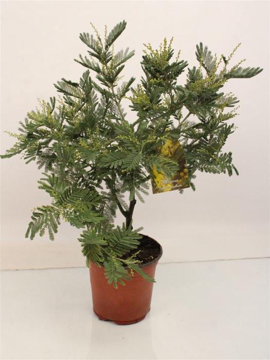 <h4>Acacia Mimosa Daelbata Silver Bush</h4>