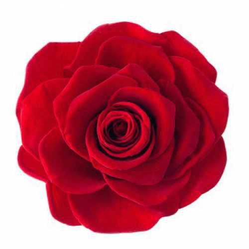 <h4>Rose Monalisa Red</h4>