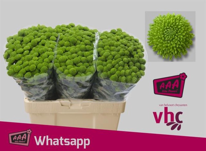 <h4>Chrys. santini Whatsapp</h4>