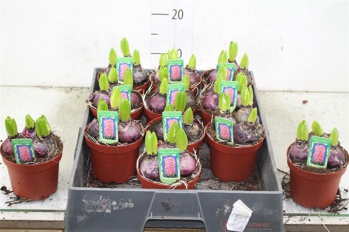 <h4>Hyacinthus Pink Pearl 3pp</h4>