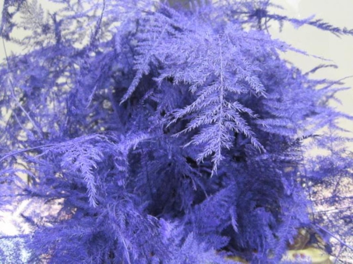 <h4>Asp Extra Veer Purple</h4>