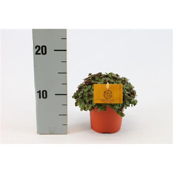 <h4>Callisia turtle 10,5 cm</h4>