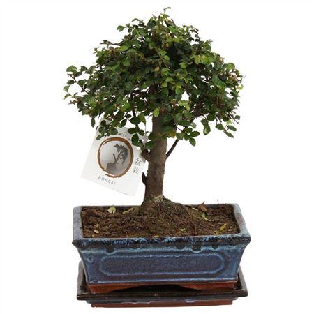 <h4>Bonsai A1201001ze Zelkova Parvifolia Keramiek</h4>