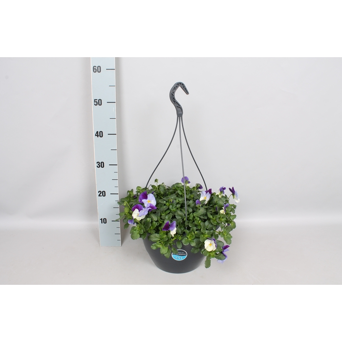 <h4>Hangpotten 27 waterreservoir Viola Coolwave Violet Wing</h4>