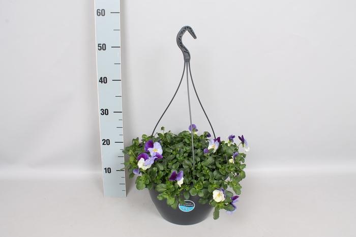 Hangpotten 27 waterreservoir Viola Coolwave Violet Wing