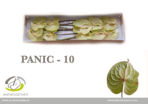 <h4>Anthurium (Andreanum Grp) 'Panic'</h4>