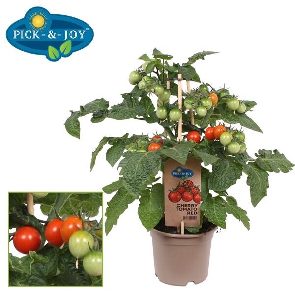 <h4>Cherry Tomato red</h4>