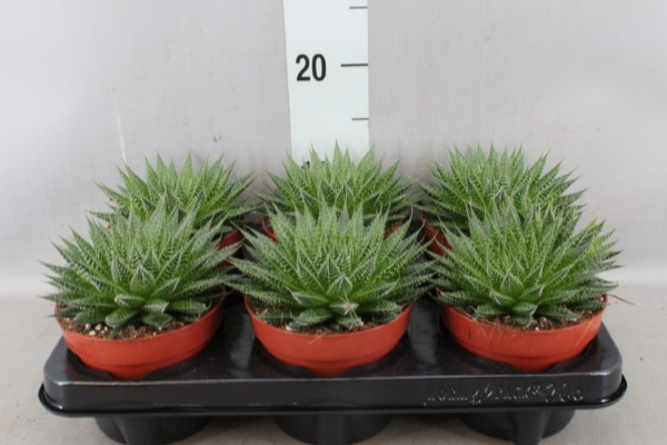 <h4>Aloe aristata 'Magic'</h4>