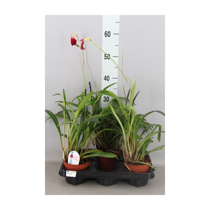 <h4>Orchideeen   ...</h4>
