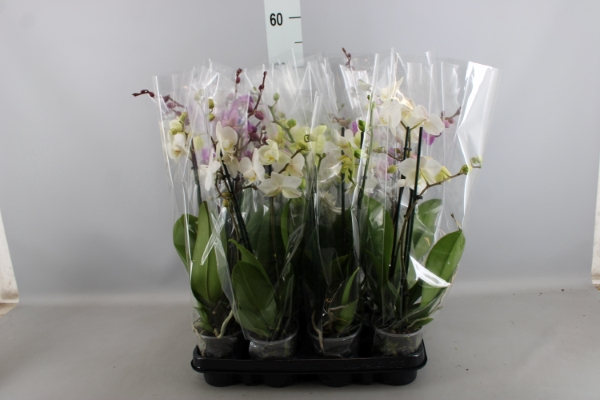 <h4>Phalaenopsis multi.   ...mix  3</h4>