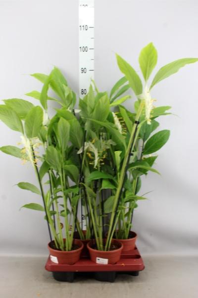 <h4>Zingiber officinalis</h4>