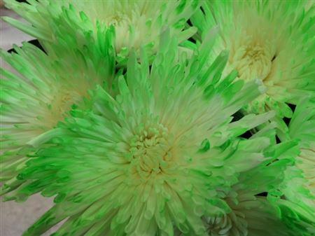 <h4>Chr G Ana Tips Green</h4>