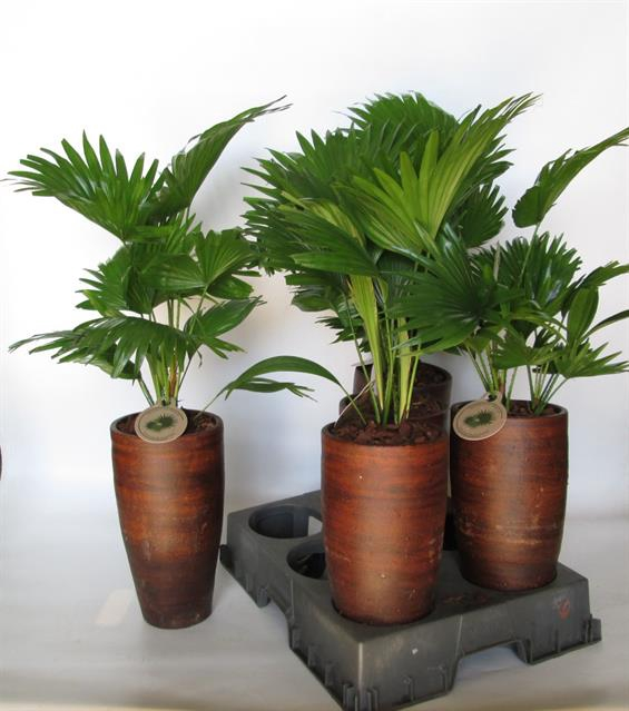 <h4>Livistona rotundifolia 16Ø 75cm</h4>