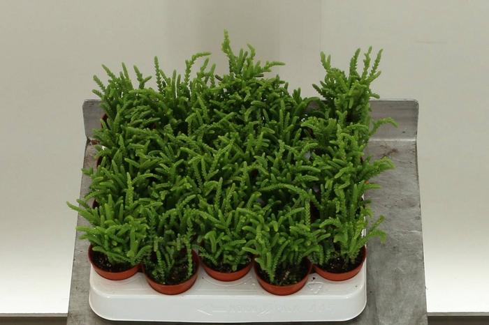 <h4>Crassula Lucopoides</h4>