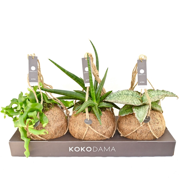 <h4>Kokodama Tough mix NO PLASTIC 100% natural</h4>