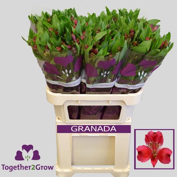 <h4>Alstroemeria Granada</h4>