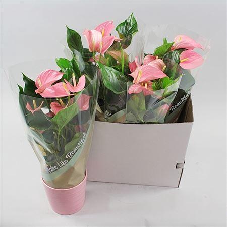 <h4>Anth An Pink Explosion Keramiek Riva Rose</h4>