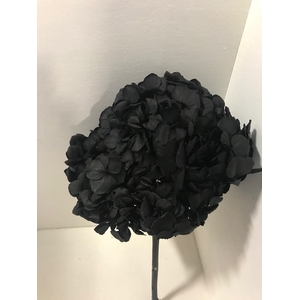 Hydrangea / Hortensia d15cm zwart