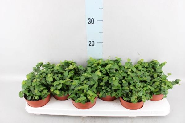 <h4>Ficus pumila 'Sunny Green'</h4>
