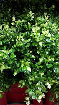 <h4>Greens - Pittosporum Green (p/bunch)</h4>