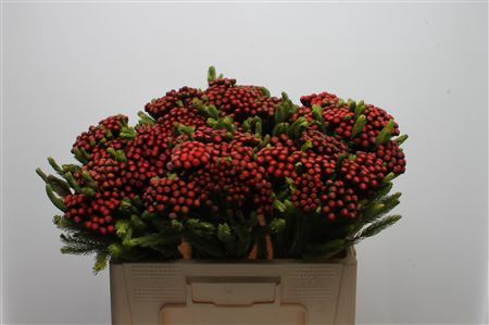 <h4>Kaaps Brunia Albiflora M Red</h4>