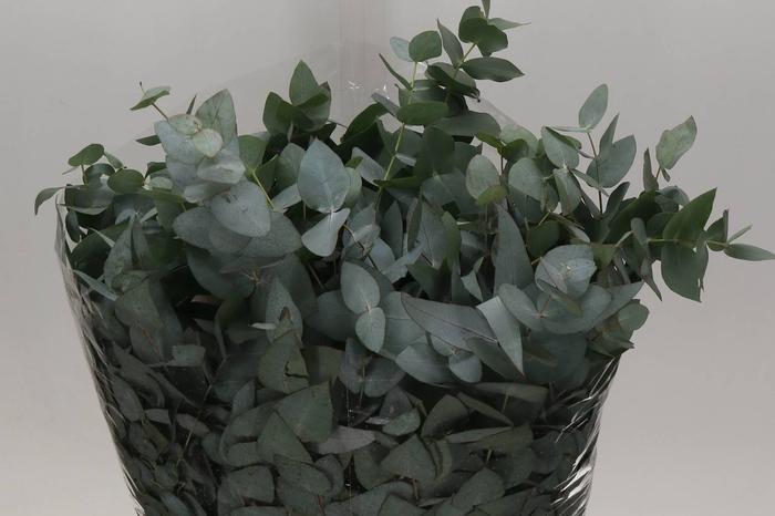 <h4>Eucalyptus Cinerea 300gr.(p.bos)</h4>