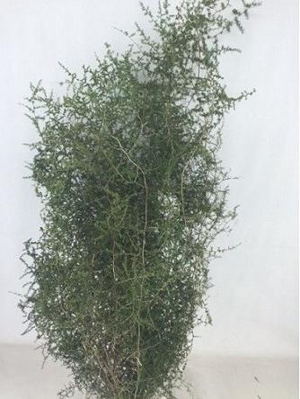 <h4>Asparagus Wilde Geverfd Zwart</h4>