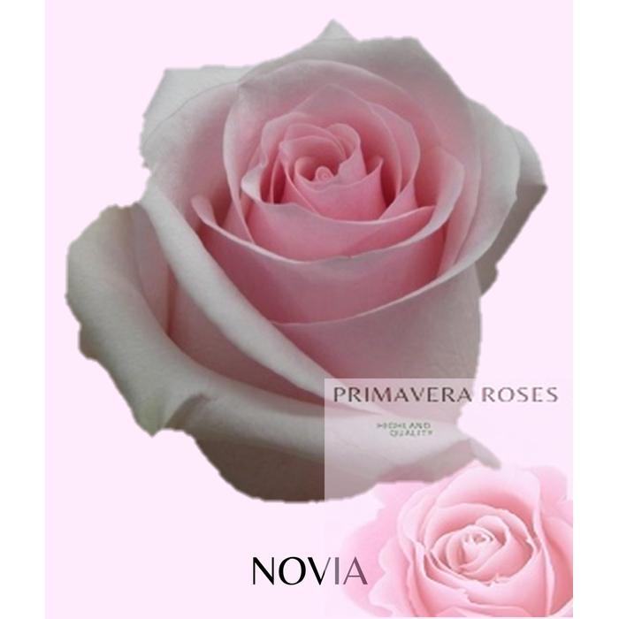 <h4>R GR NOVIA</h4>
