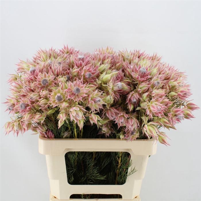 <h4>Serruria Blushing Brides Rose 6-10 Flwrs</h4>