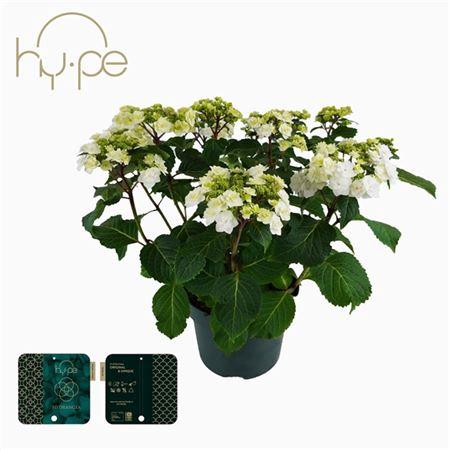 <h4>Hydrangea Wedding Gown 10+</h4>