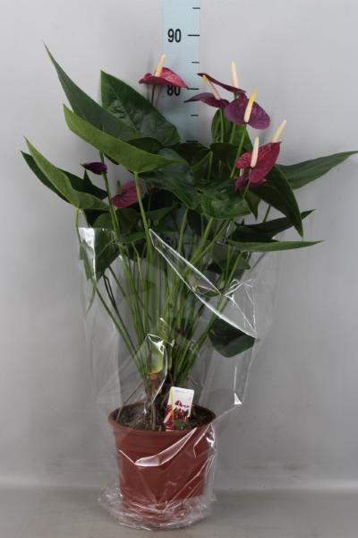 <h4>Anthurium andr. 'Violet Heart'</h4>