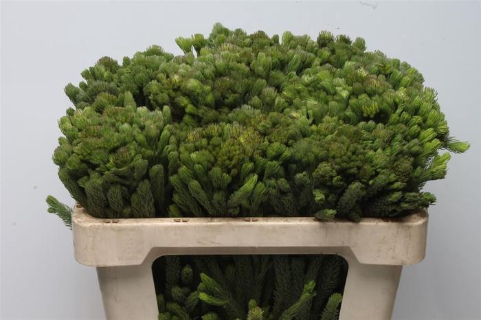 <h4>Kaaps Brunia Albiflora Green</h4>
