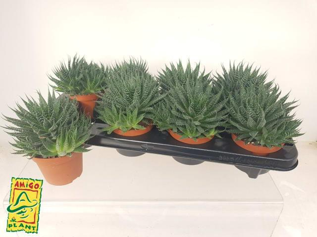 <h4>Aloe Aristata 10,5Ø 15cm</h4>
