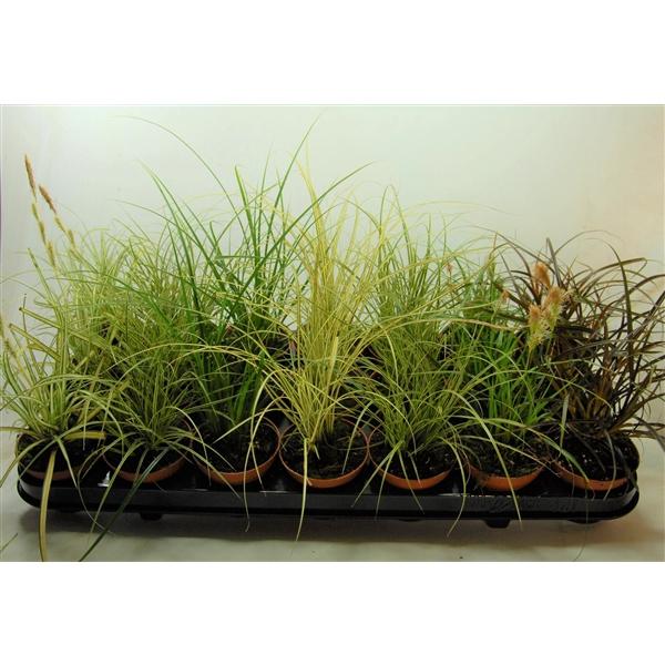 <h4>Carex mix p8</h4>
