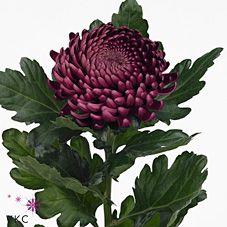 <h4>Chrysanthemum monoflor bigoudi purpple</h4>