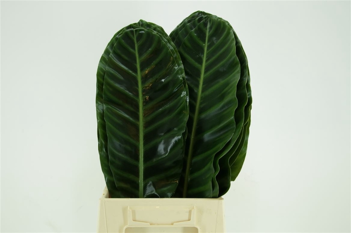 <h4>Calathea Zebrina Medium</h4>