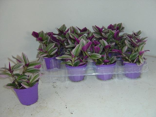 <h4>Tradescantia albiflora Nanouk 7,5Ø 7cm</h4>