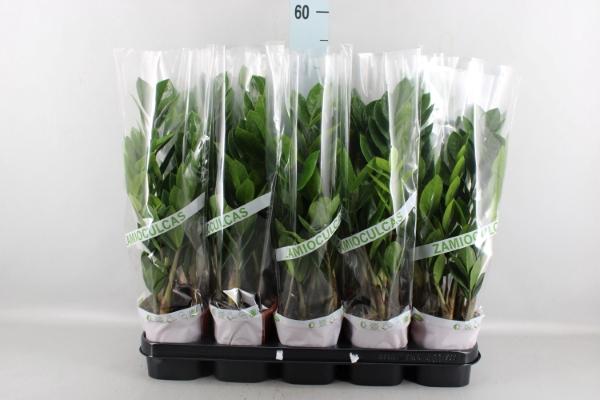 <h4>Zamioculcas zamiifolia</h4>