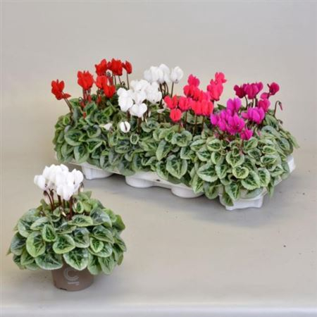 <h4>Cyclamen Kl S S Picasso Gemengd</h4>