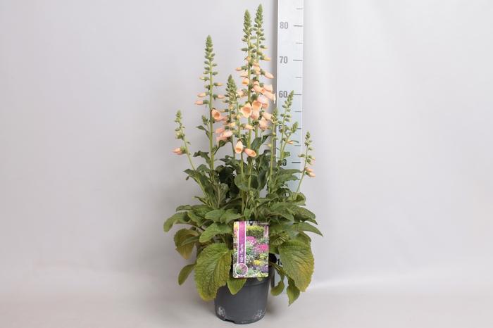 vaste planten 19 cm  Digitalis Dalmatian Peach